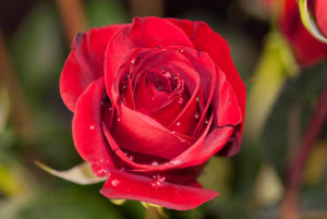 jim-west-collierville-tn-rose