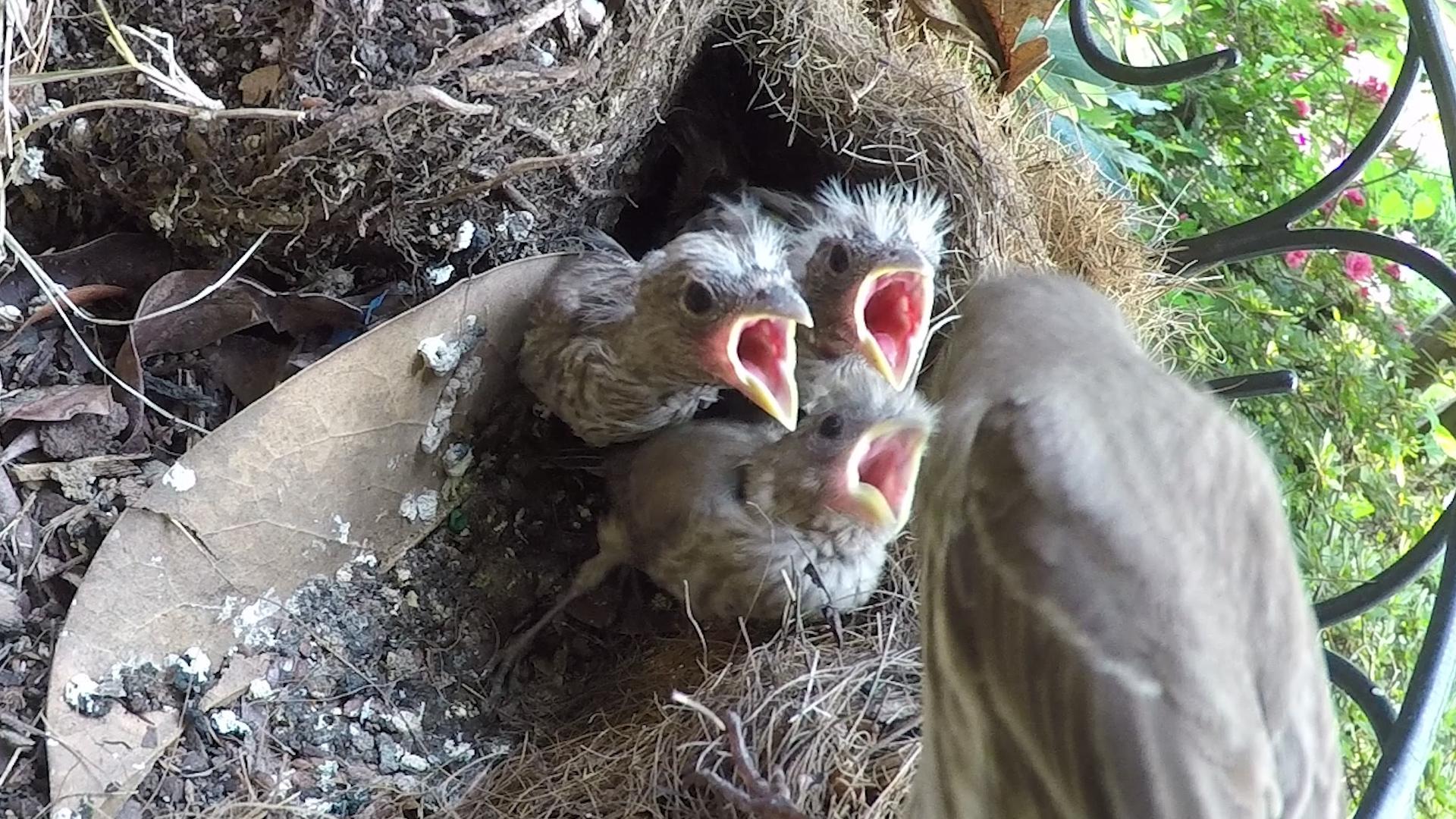 jim west collierville tn nature and wildlife finch feeding baby birds
