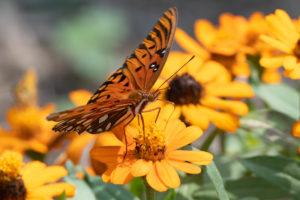 jim-west-collierville-tn-wildlife-nature-butterfly-102