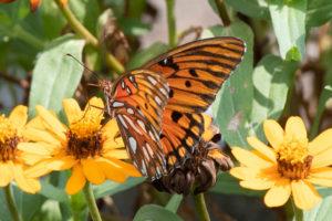 jim-west-collierville-tn-wildlife-nature-butterfly-24