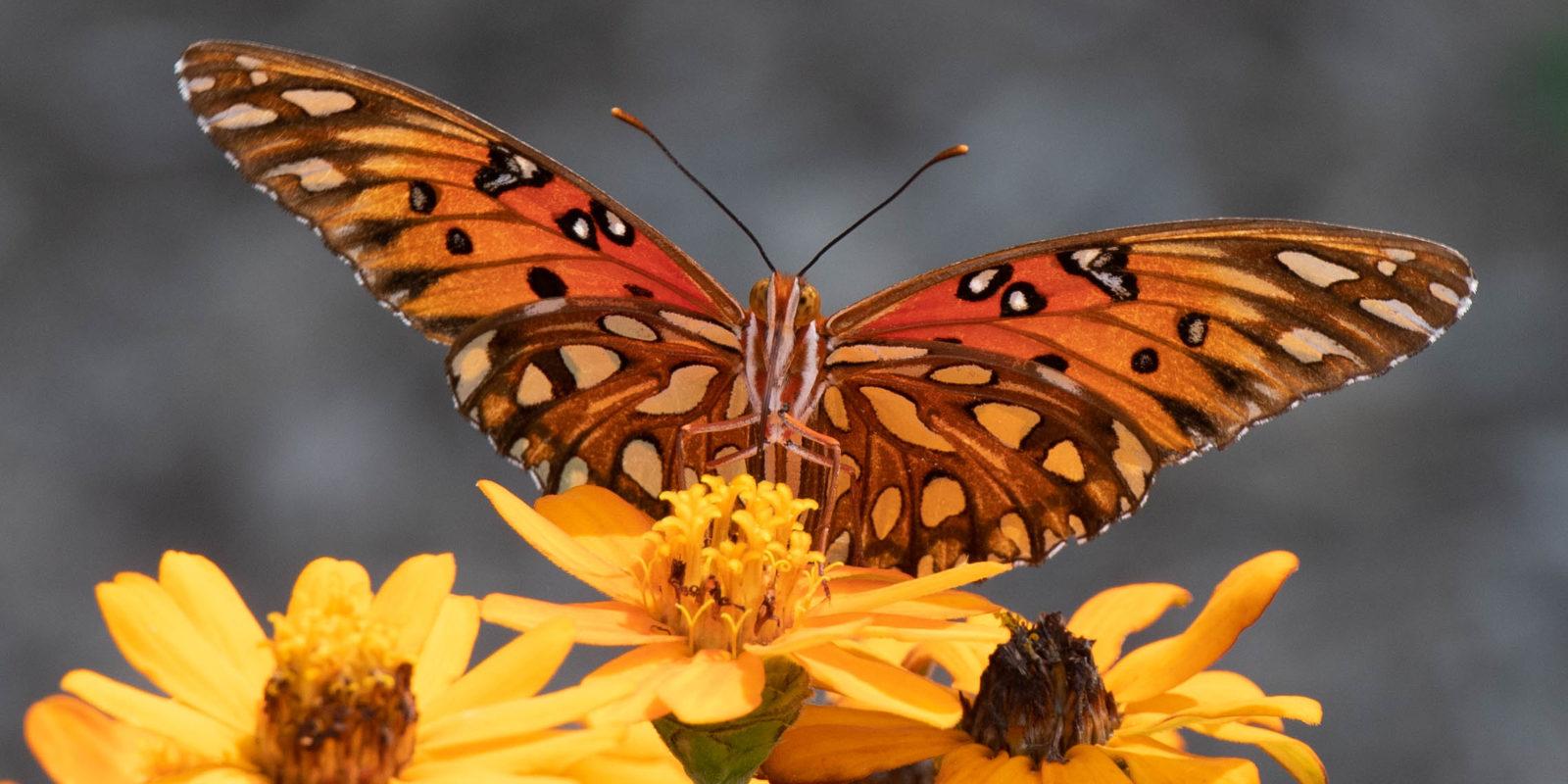im-west-collierville-tn-wildlife-nature-butterfly-39
