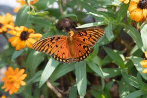 jim-west-collierville-tn-wildlife-nature-butterfly-98